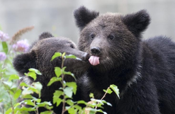 Egy gyerekre és egy felnőttre támadt az utcán egy medve Erdélyben