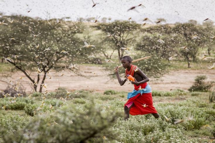 Sáskajárás fenyegeti Ugandát, Dél-Szudánt és Etiópiát