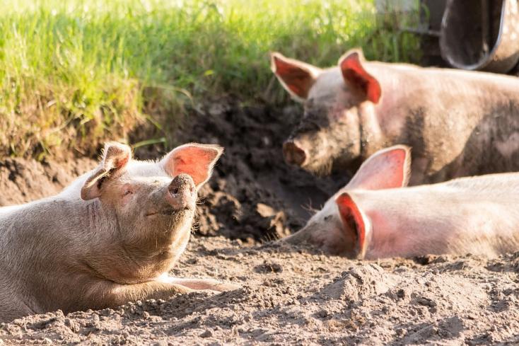 A Dan-Slovakia Agrar szerint a gútaiaknak nincs elegendő információjuk a cégről, ezért ellenzik annyira a sertésfarmot