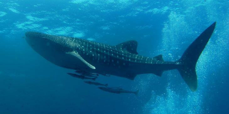Nőstények a világ legnagyobb halai