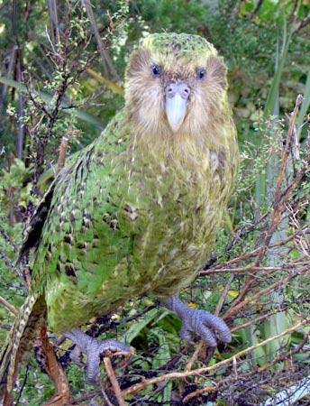 Két év után újra felbukkant a kakapó