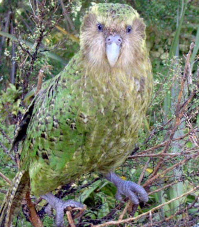 Először emelkedett kétszázra a veszélyeztetett kakapók száma Új-Zélandon
