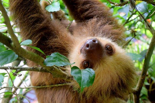 A világ legöregebbjeként ismerték el a hallei állatkert lajhárját (FOTÓ)