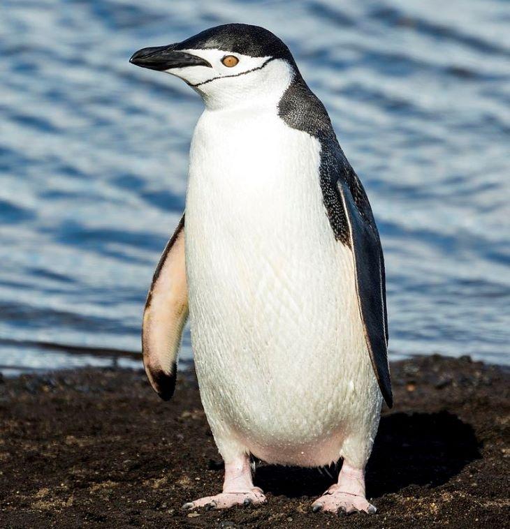 Drámaian csökkent az állszíjas pingvinek száma az Antarktiszon