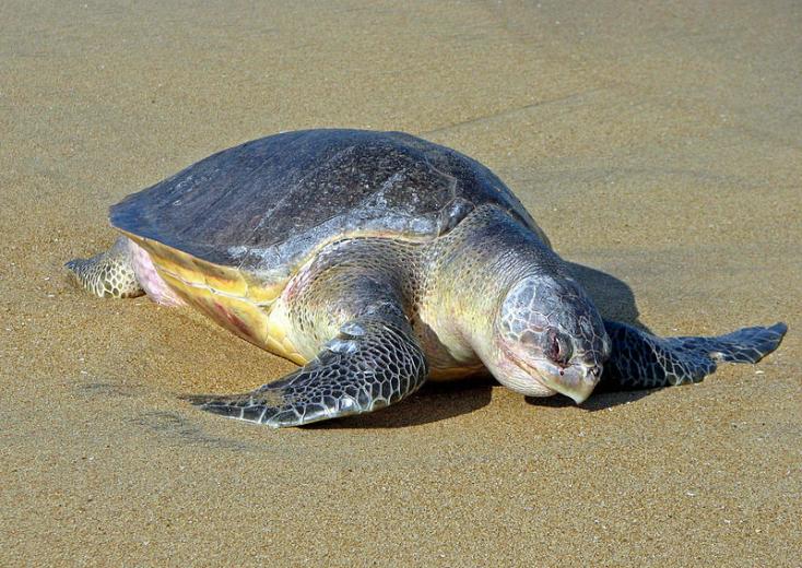Több mint száz tengeri teknős tetemére bukkantak Dél-Mexikó partjain
