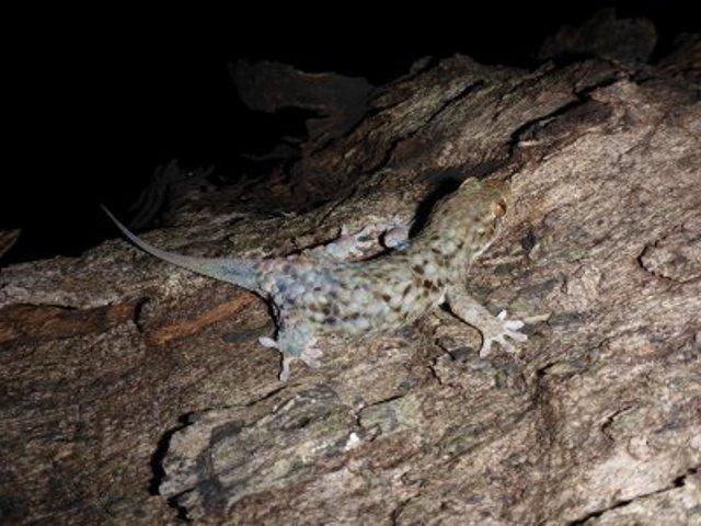 Új gekkófajt fedeztek fel, amely védekezéskor megválik a pikkelyeitől