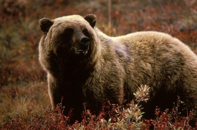 Négy évtized után újra lehet grizzlyre vadászni