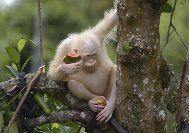 Visszatérhet a vadonba a világ egyetlen ismert albínó orangutánja