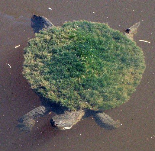Kihalás szélén az egyik legősibb teknősfaj