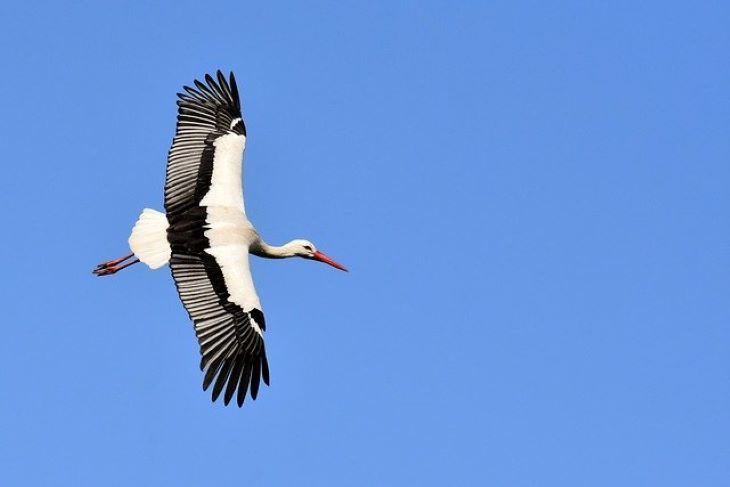 Évszázadok óta először születtek vadon fehér gólyák Nagy-Britanniában