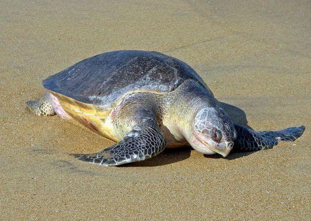 Mintegy háromszáz veszélyeztetett tengeri teknős tetemére leltek halászok Mexikó déli partjainál (FOTÓ)
