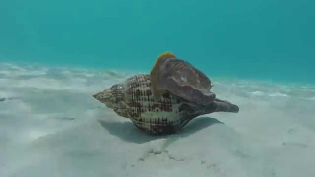 Sikerült memóriaátvitelt megvalósítani tengeri csigák között