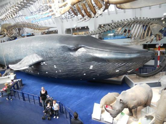 Bálnacsontvázra cserélte híres dinoszauruszát a londoni Természettudományi Múzeum