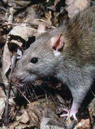 A patkányok jelentősen hozzájárulnak a korallpusztuláshoz