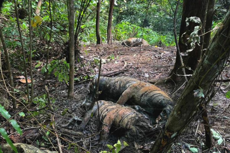 Drótcsapda miattpusztult elegy szumátriai tigris és két kölyke Indonéziában