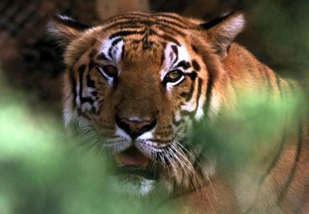 Halálos tigristámadás ért egy állatgondozót Svájcban