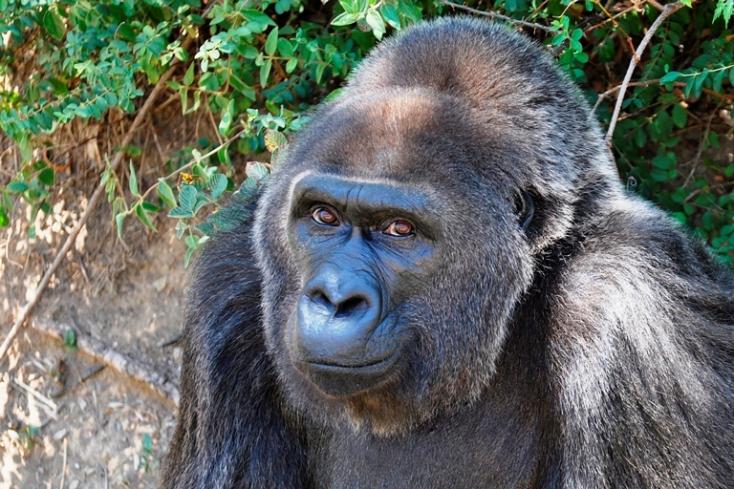 Kimúlt 63 évesen Trudy, a legidősebb, fogságban élő gorilla