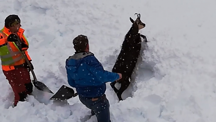 Vasutasok ásták ki a szarva hegyéig hóval betemetett zergét! (Videó)