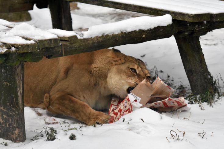 A kassai állatkert lakói is kaptak karácsonyi ajándékot
